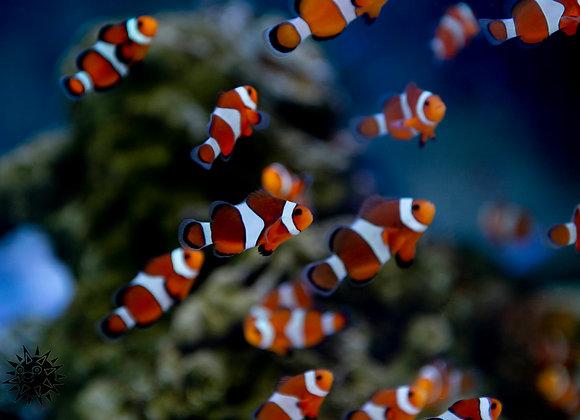 Orange Clown Fish ( Ocellaris )