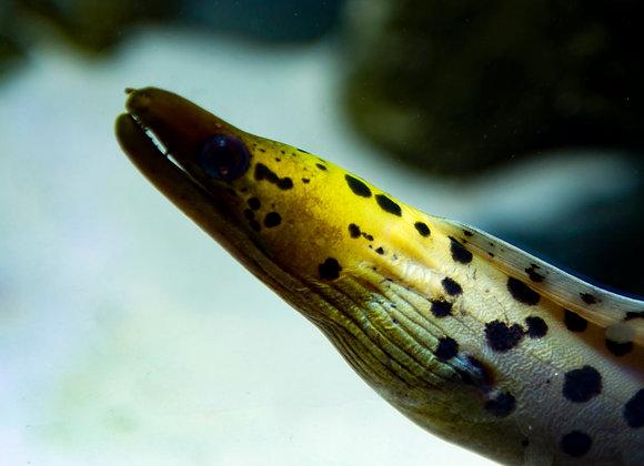 Yellow Head Moray Eel WYSIWYG