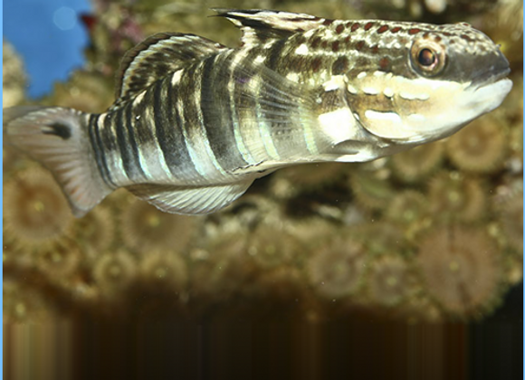 Bullet Goby
