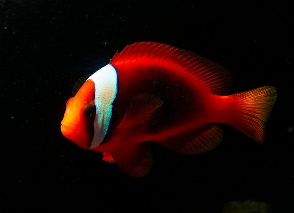Cinnamon Clownfish WYSIWYG