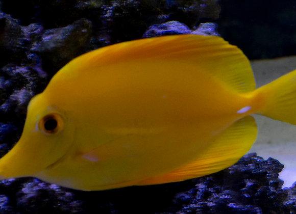 Yellow Tang Medium+ WYSIWYG
