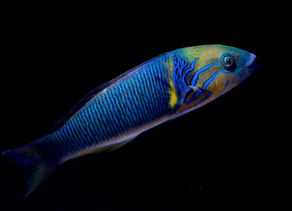 "Gold Bar Wrasse 6.5"" WYSIWYG"