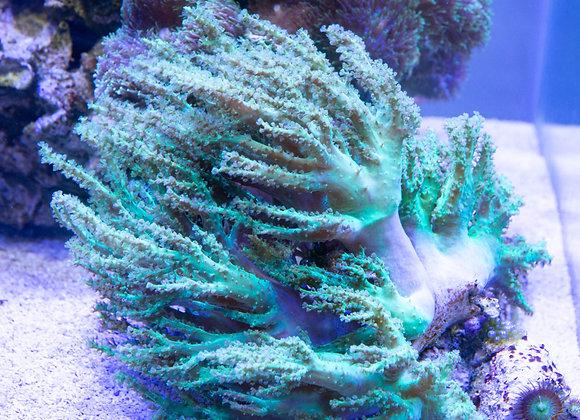 Large Green Sinularia WYSIWYG