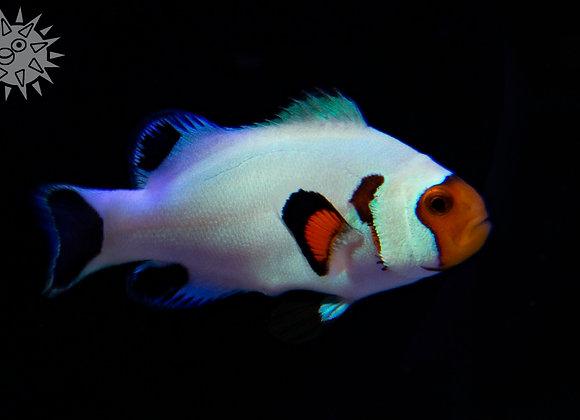 Wyoming White Clownfish