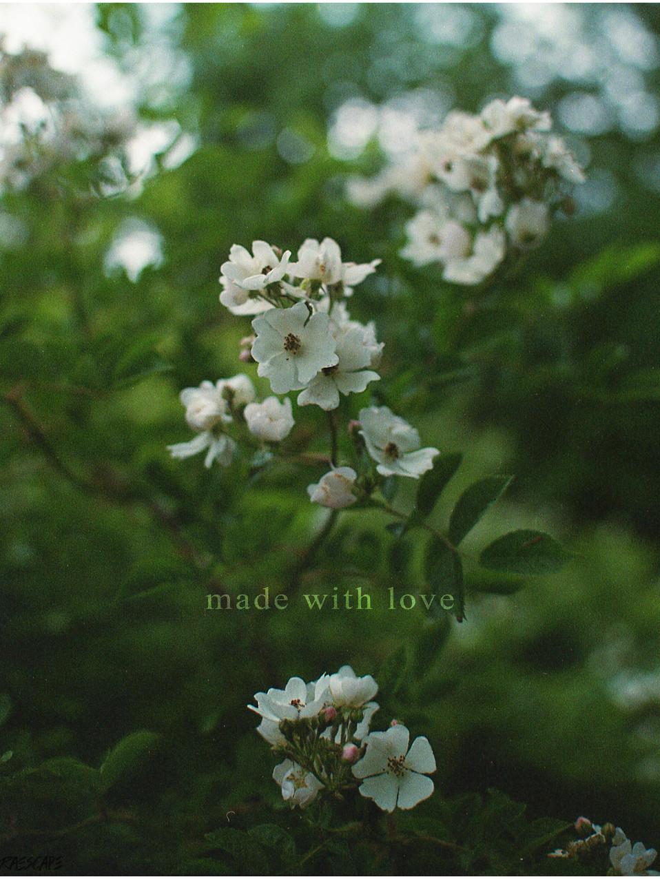 multiflora rose