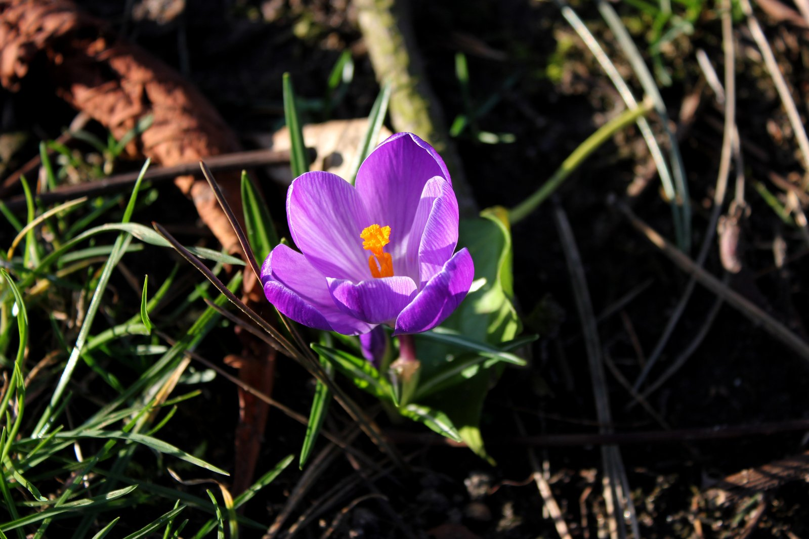 purple-crocus-1626908