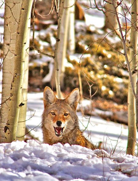 Laughing Coyote.jpg