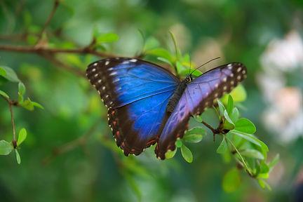 blue_morpho_butterfly_189907.jpg
