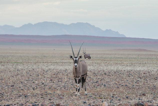 Gemsbuck/ Oryx