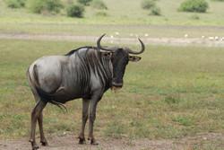 Blue-wildebeest-connochaetes_taurinus-1.