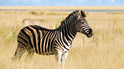 hero_zebra_animals