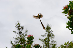 Cape Sugarbird, Promerops cafer, Kirsten