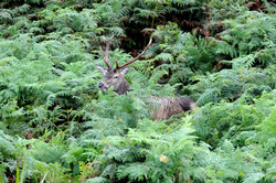 Red Deer (Cervus elaphus), GB-SCT ©Johannes Ratermann