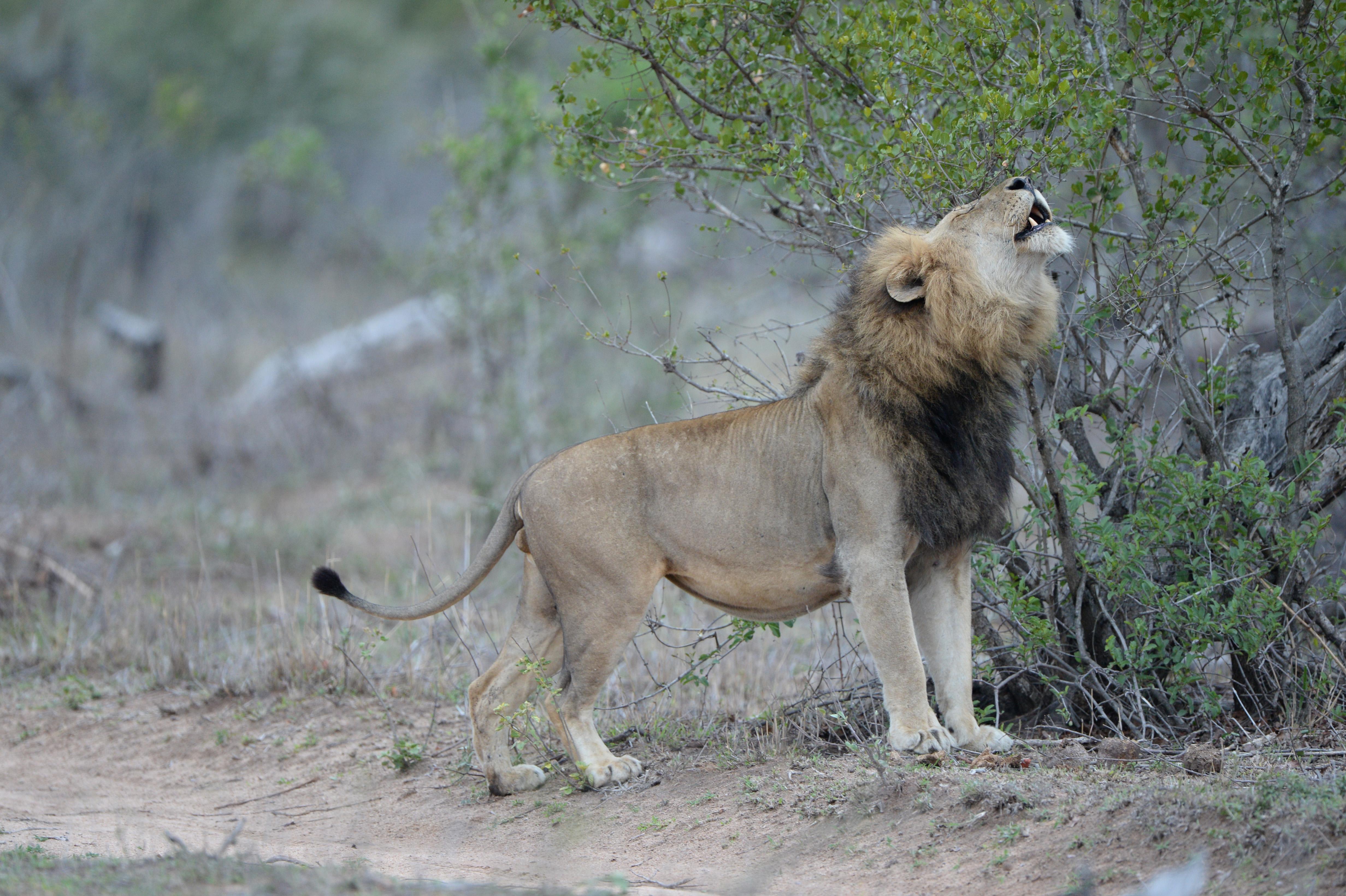 Löwe, Londolzi ©Johannes Ratermann