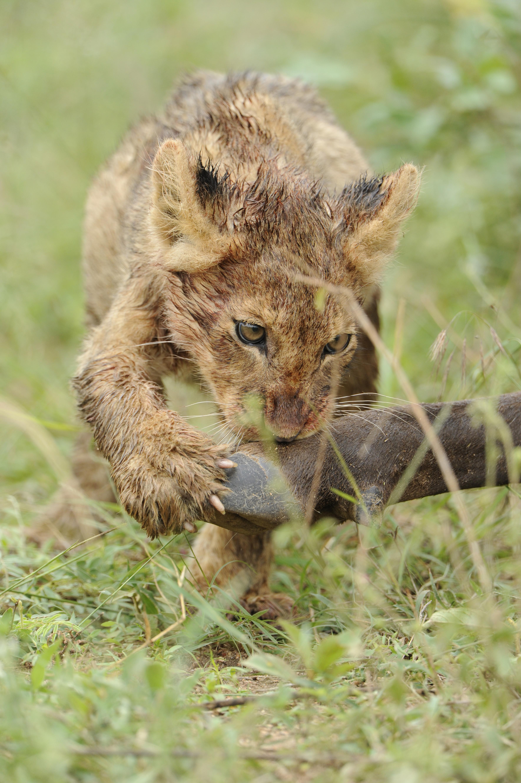 Löwenbaby zeigt seine Krallen, South Africa ©Johannes Ratermann