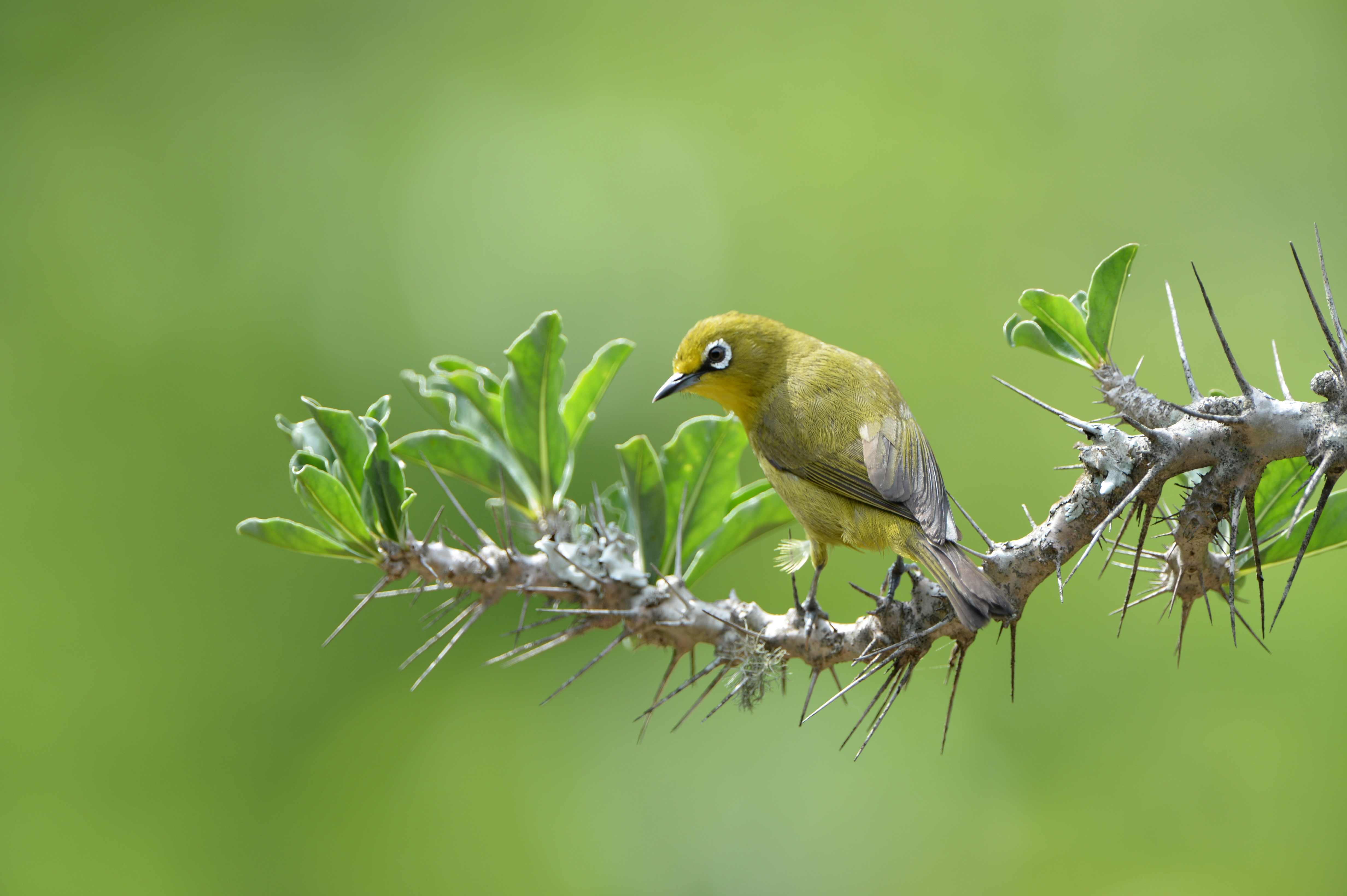 Cape white eye (Zosterops vireos), ZA ©Johannes Ratermann