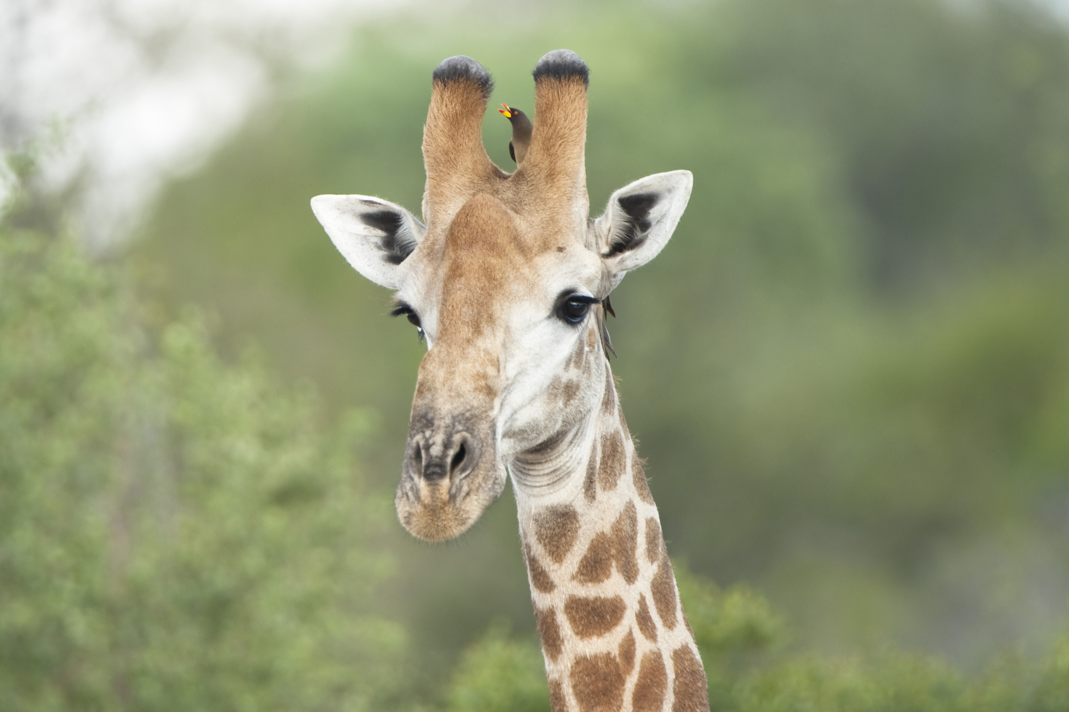 Giraffe with Red-billed Oxpecker II, ZA ©Johannes Ratermann