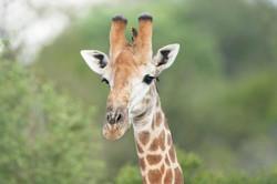 Giraffe with Red-billed Oxpecker II, ZA ©Johannes Ratermann
