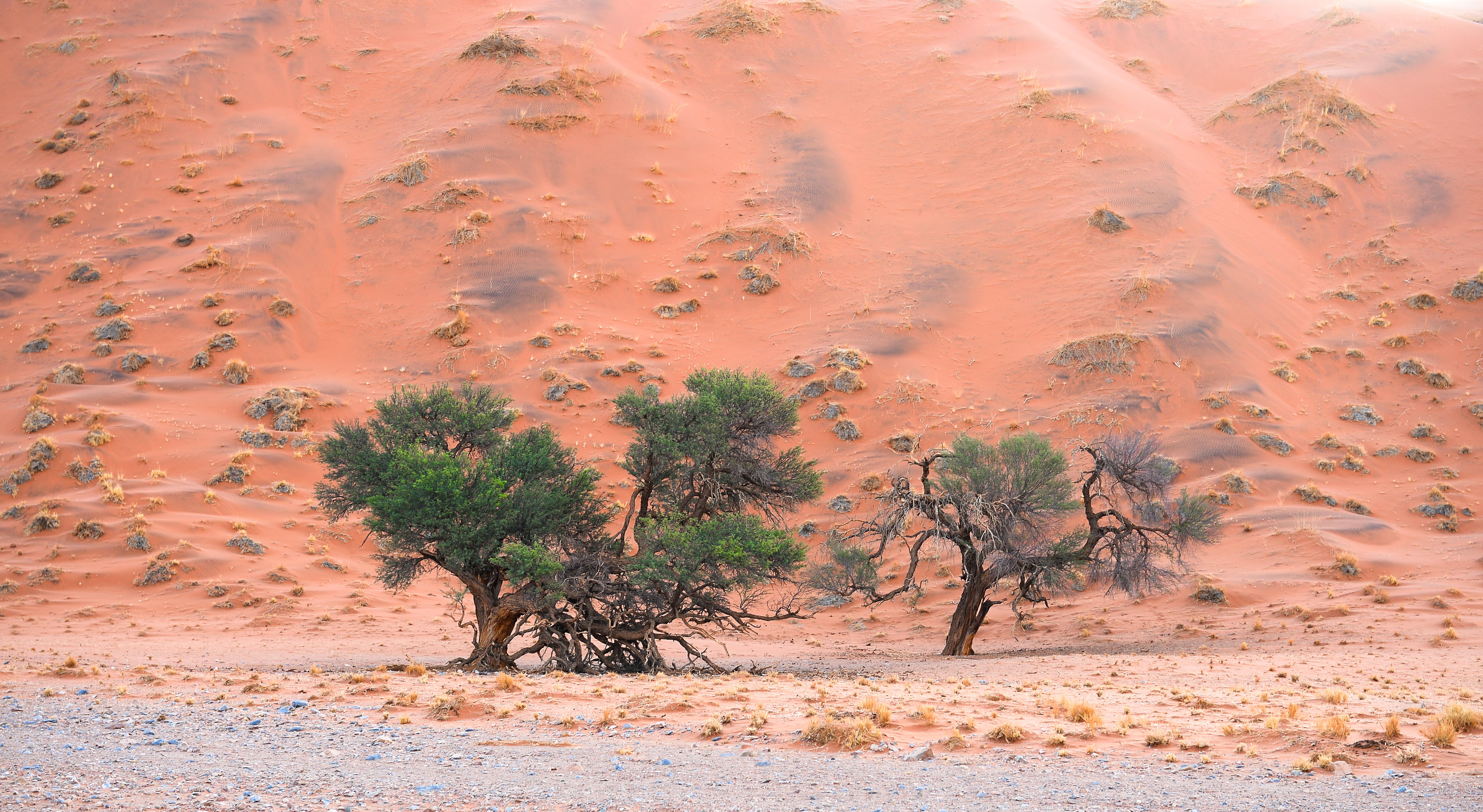 Solitäre in der Namib Kameldorn (Vachellia erioloba)  ©Joh.Ratermann