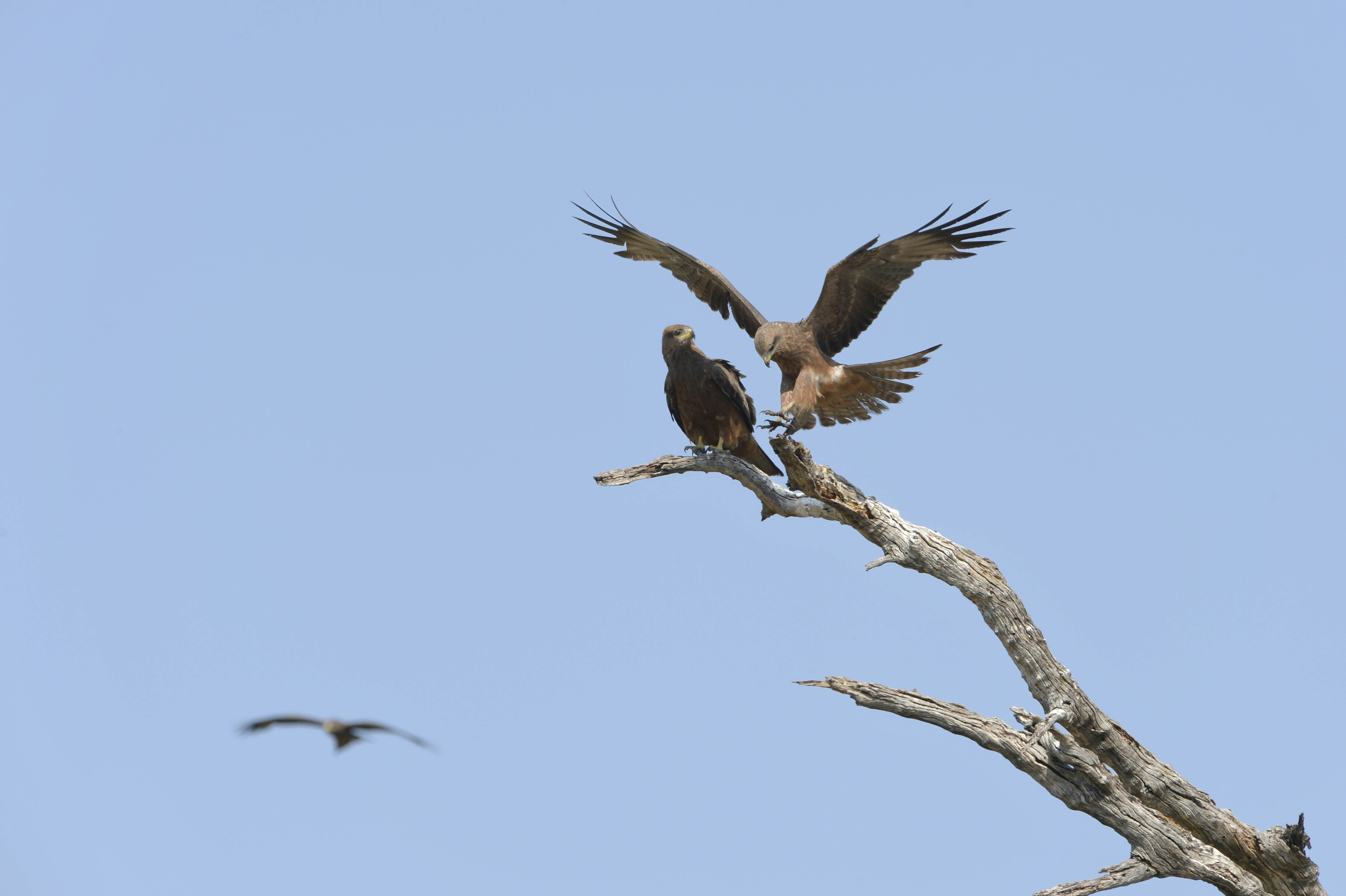 Kite, black (Milvus migrans), ZA ©Johannes Ratermann