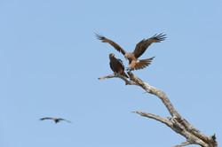 Kite, black (Milvus migrans), ZA ©Johannes Ratermann