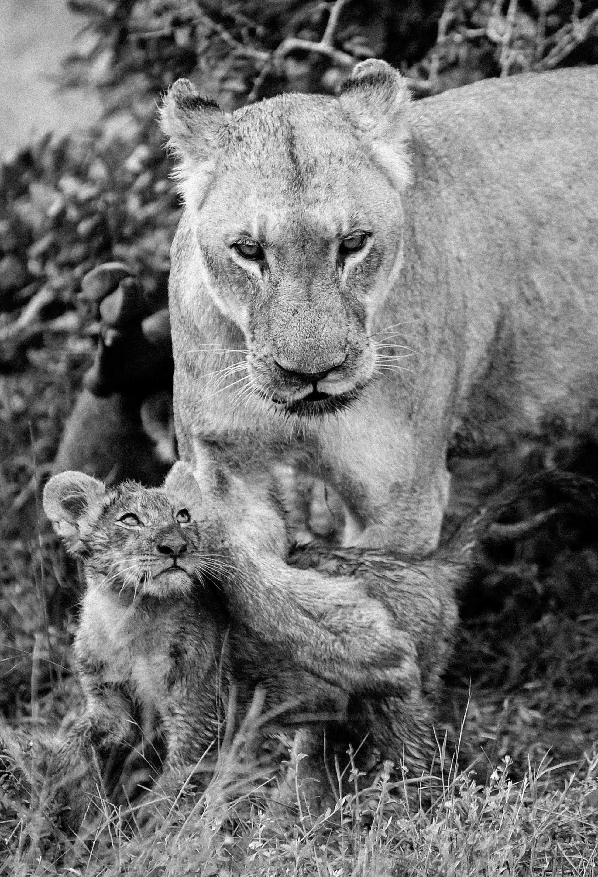 Mother Lion touches gently with the paw her cub, Sabi Sand ©Johannes Ratermann