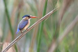 Malachite Kingfisher sitting on Papyrus in Okavango Delta ©Johannes Ratermann