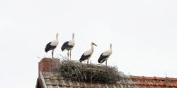 Young Storks II, DE ©Johannes Ratermann