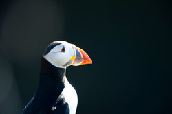 Puffin GB-SCT ©Johannes Ratermann