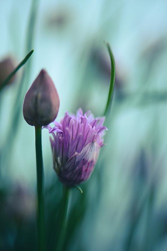 Schnittlauch (Allium schoenoprasum) ©Johannes Ratermann