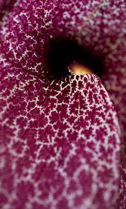 Aristolochia gigantea II, riesige Pfeife