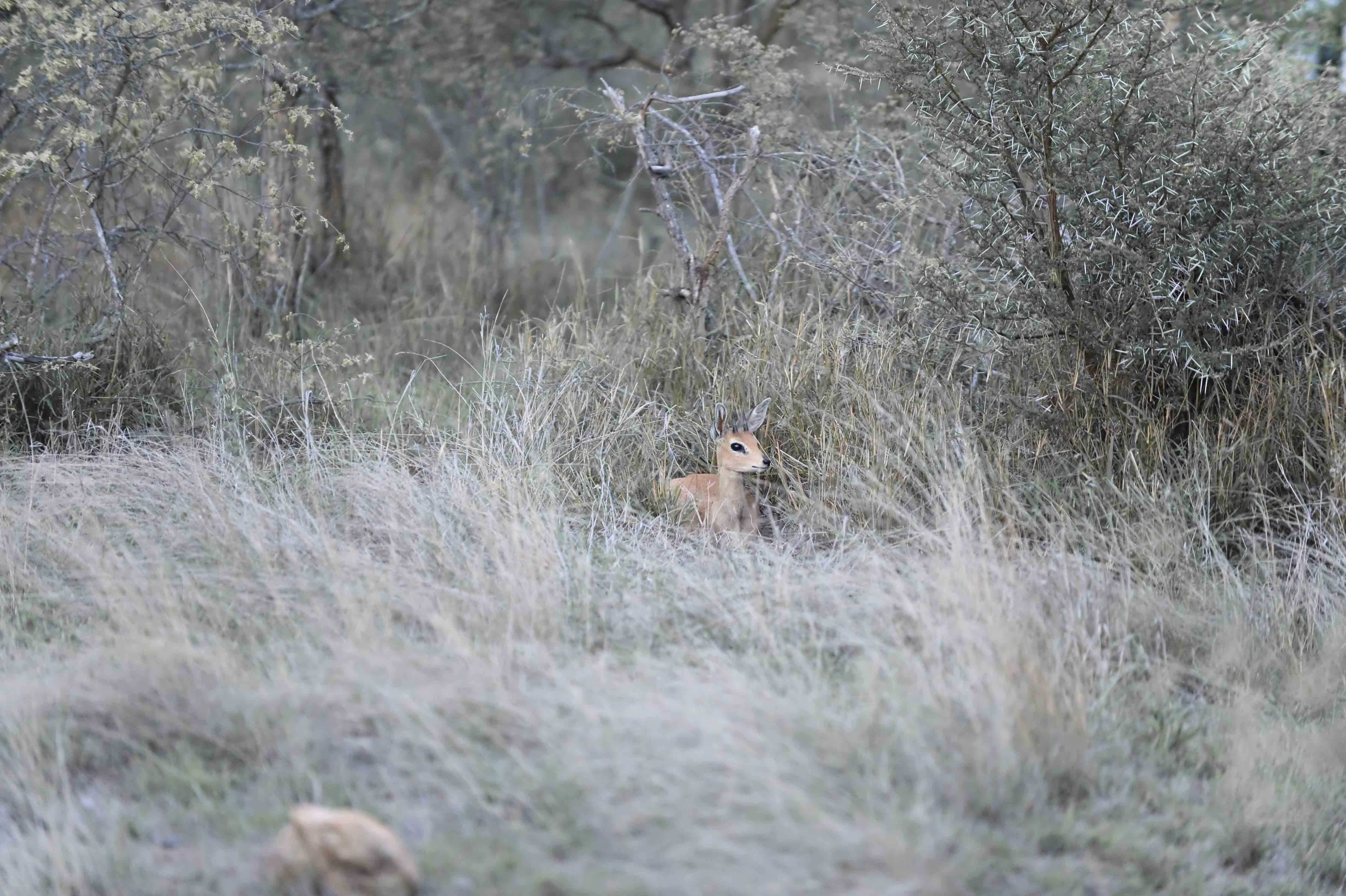 Leopard and Steenbok (Raphicerus campestris, ZA ©Johannes Ratermann