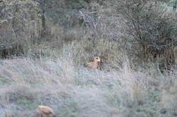 Leopard and Steenbok (Raphicerus campestris, ZA ©Johannes Ratermann