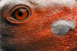Saruscrane, Eye and earspot (Grus antigone) ©Johannes Ratermann