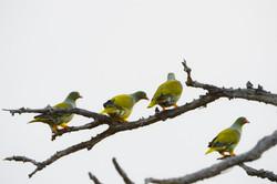 African Green Pigeon, Treron calvus; Sabi Sands ©Johannes Ratermann