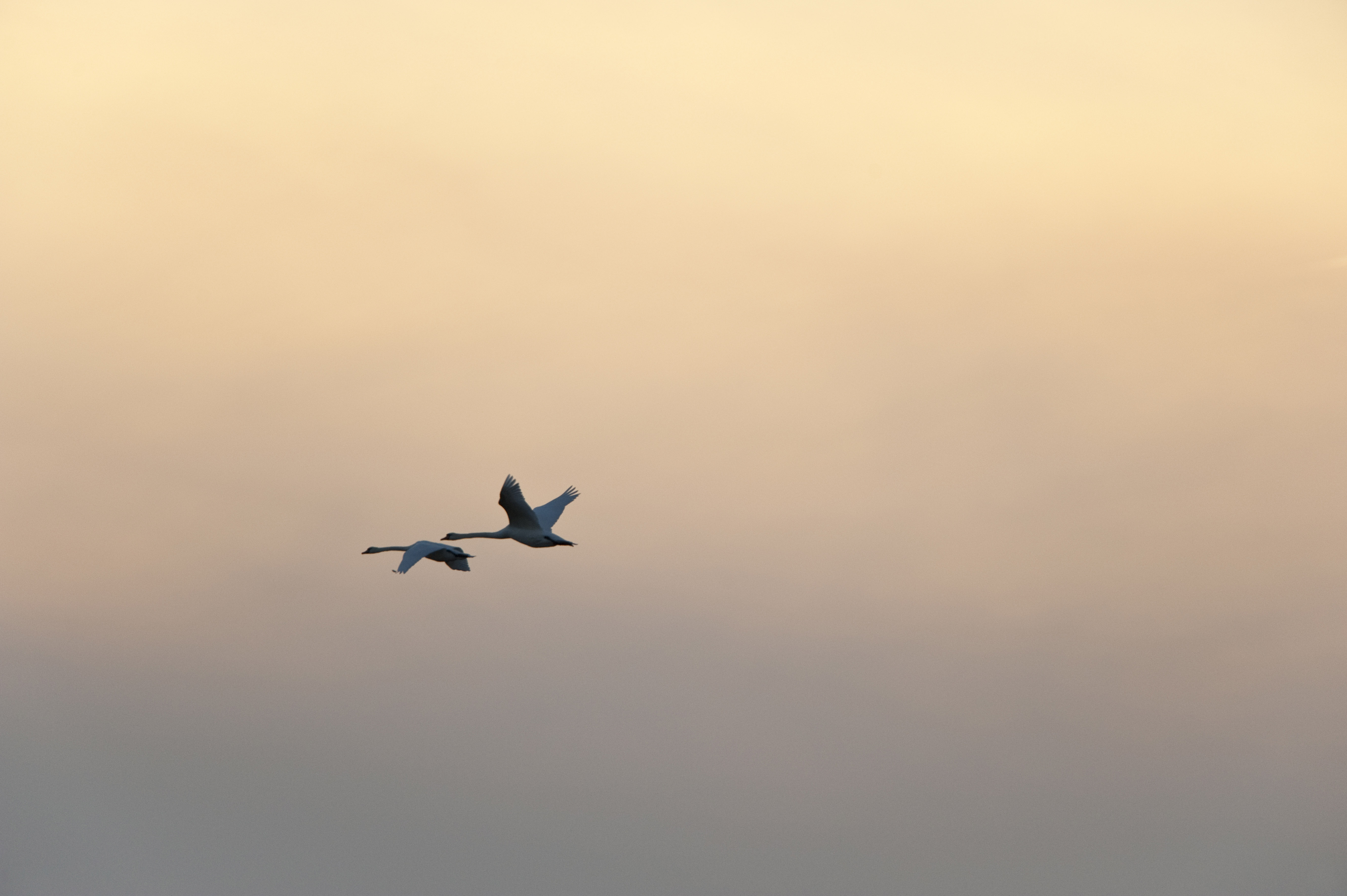 White swans (Cygnus olor) in sunset ©Johannes Ratermann