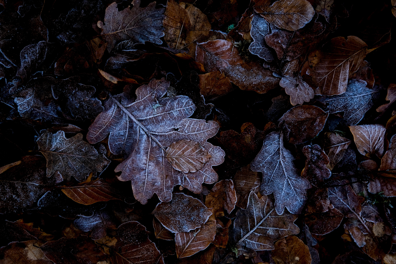 Blätter mit Reif Blätter, Raureif, gefro