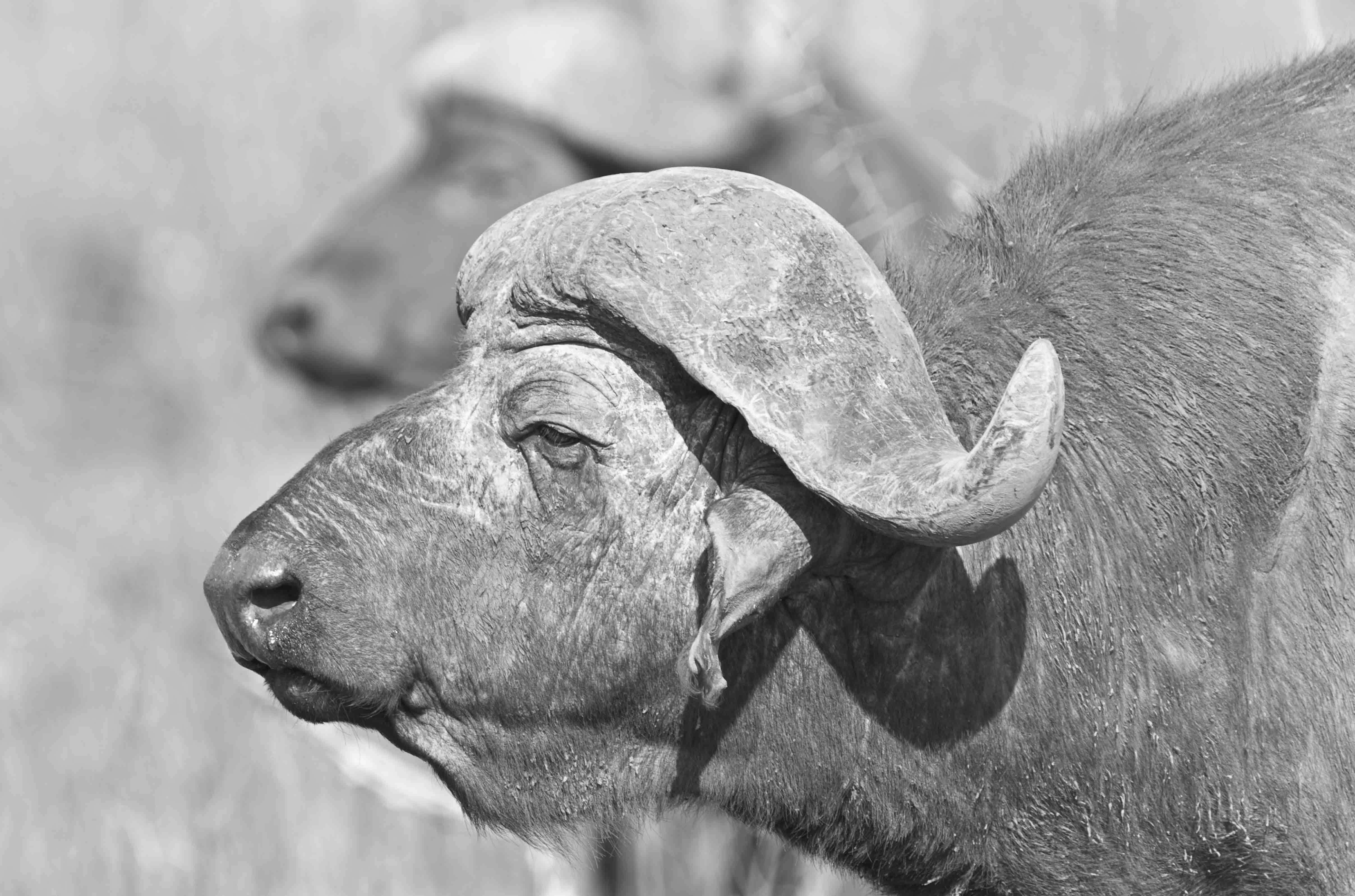 African Buffalo / Syncerus caffer ©Johannes Ratermann
