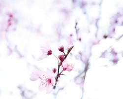 Mandelblüten, Prunus dulcis, Bruck ©Joha