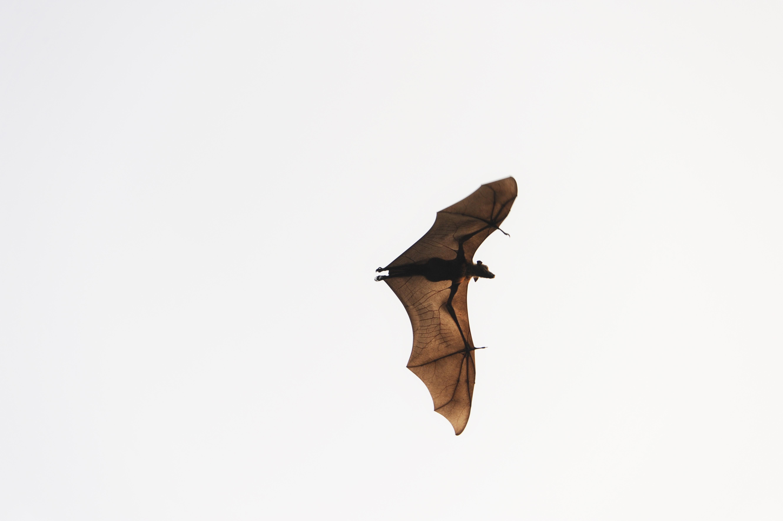 Flughund (Pteropodidae), MV, Iruveli ©Johannes Ratermann