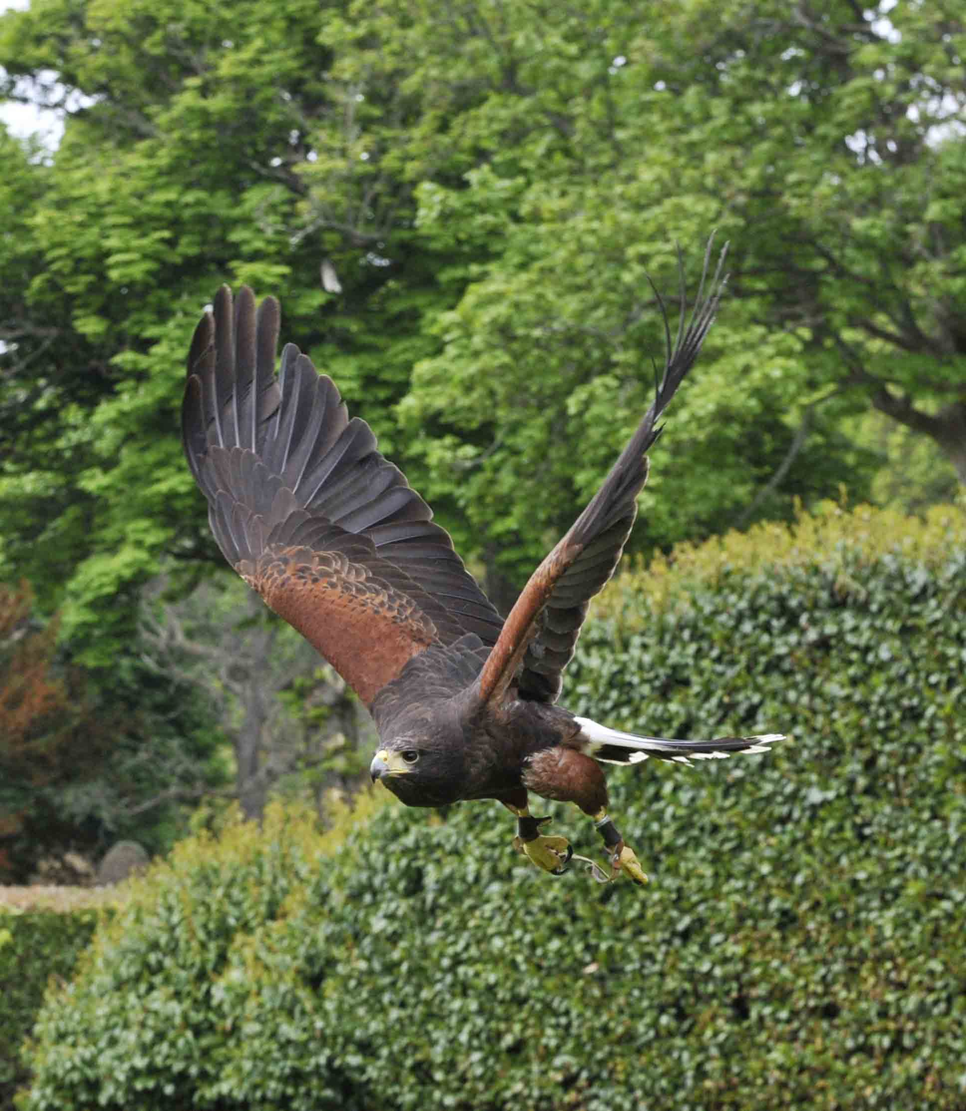 African Hawk Eagle/Aquilla spilogastra, Falconry Dun. Castle ©Johannes Ratermann