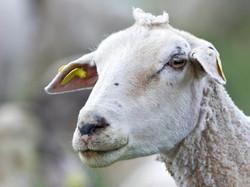 Sheep with a crown, DE ©Johannes Ratermann