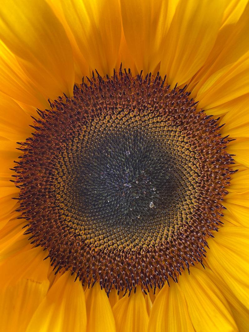 Sonnenblume trotz der Anfeindungen