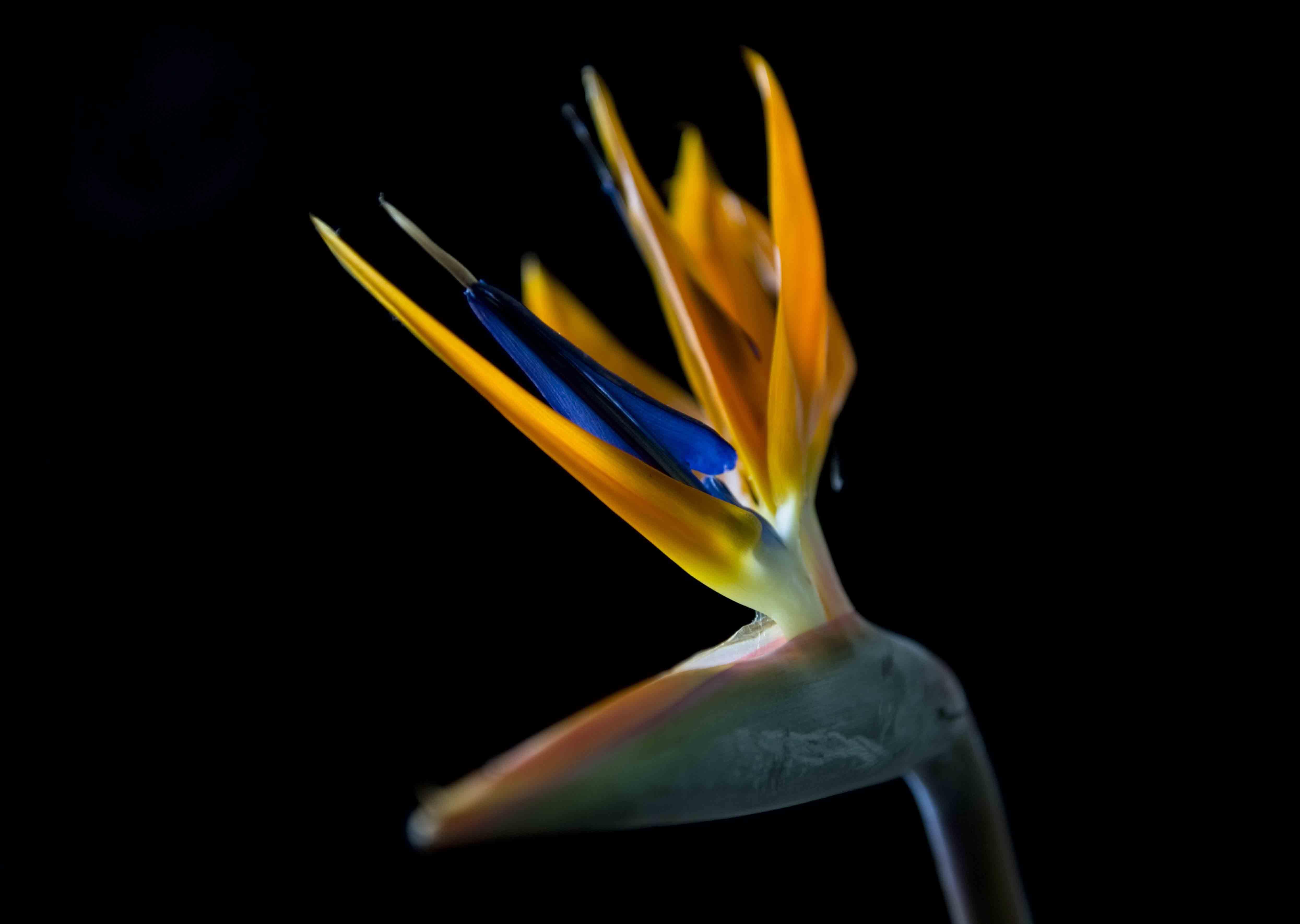 Strelitzia reginae ©Johannes Ratermann