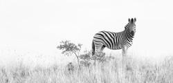 Zebra, ZA ©Johannes Ratermann