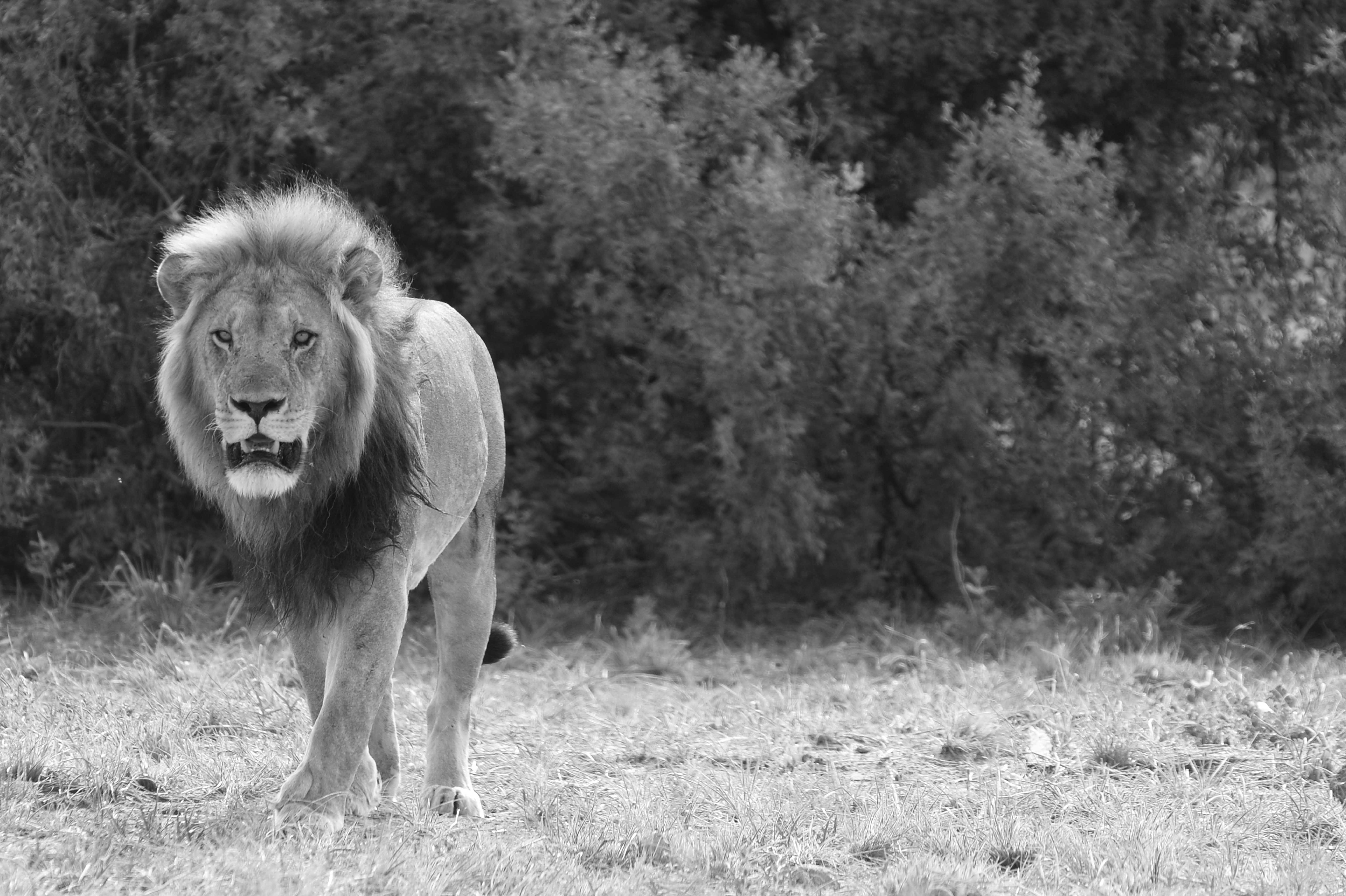 Lion (Panthera leo), ZA ©Johannes Ratermann