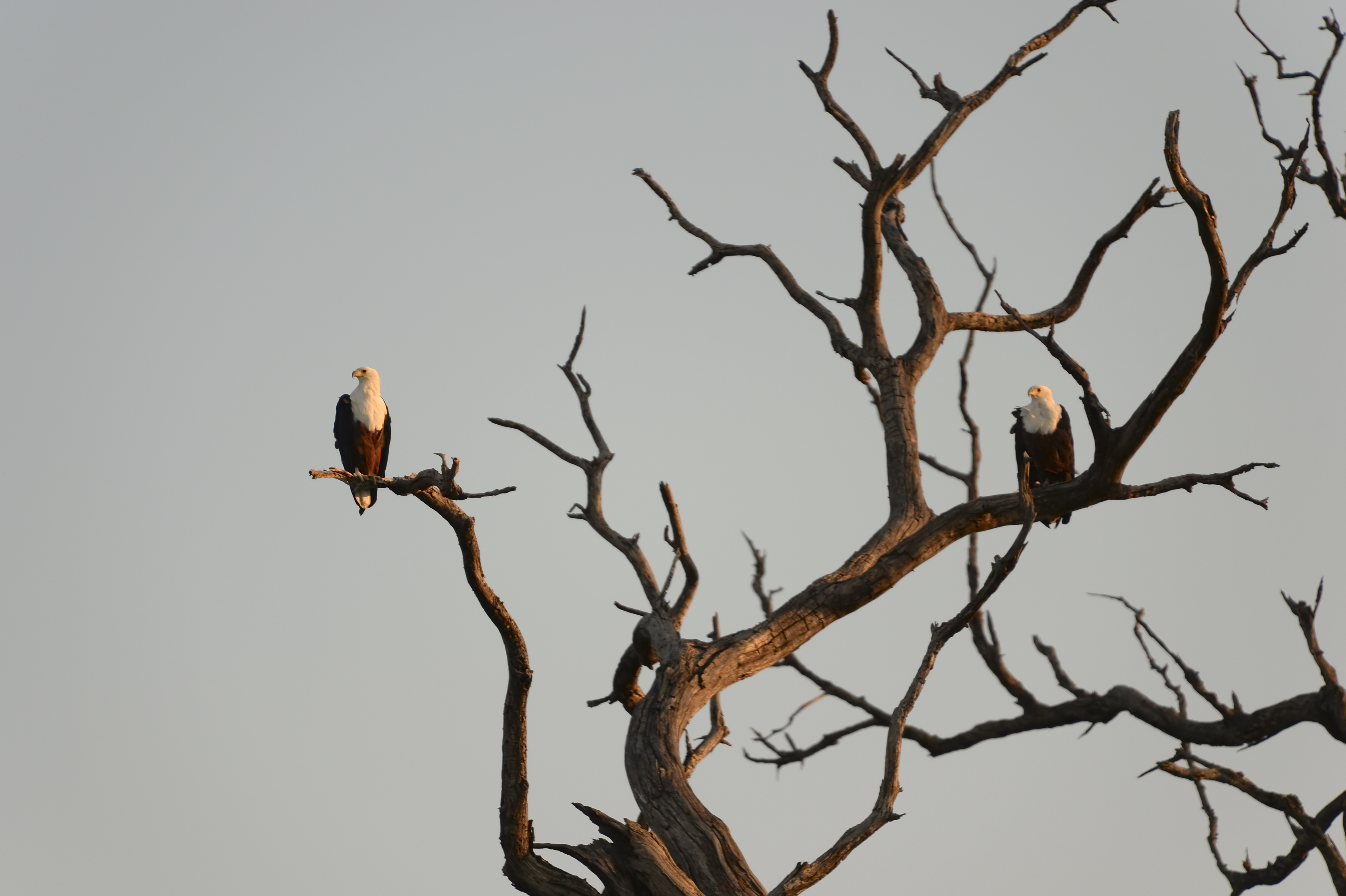 African Fish Eagle Fischadler
