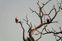 African Fish Eagle Fischadler