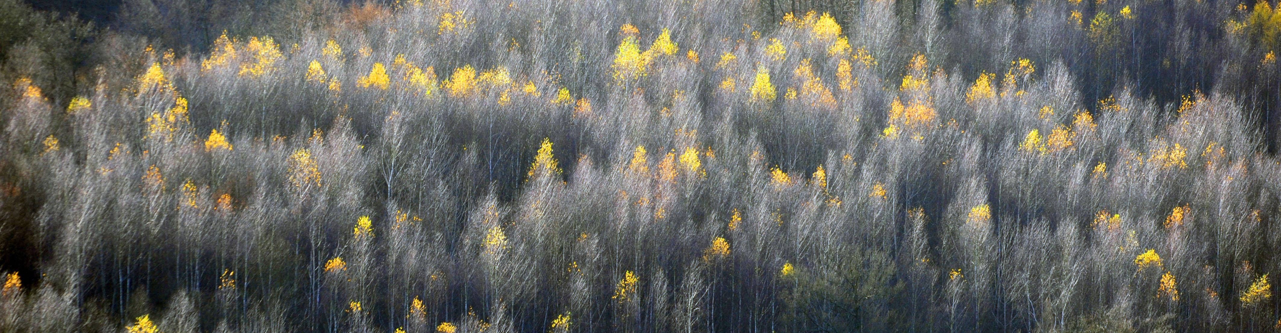 Birken im Herbst, DE ©Johannes Ratermann