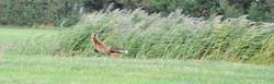 Fox (Vulpes vulpes), DE ©Johannes Ratermann